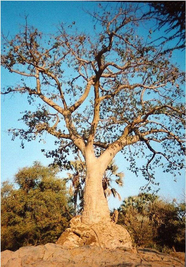 Baobab Tree at Epupa Falls, Namibia