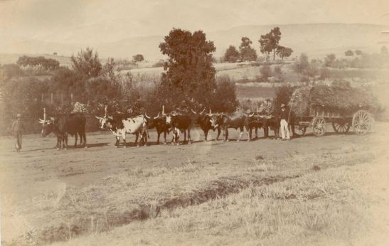 an-ox-wagon-doing-farm-work